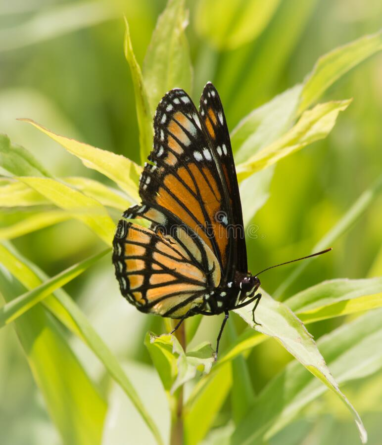 Viceroy Butterfly with Torn Wing. One Viceroy Butterfly limenitis archippus with tear injury to wing. Viceroy looks similar but is unrelated to Monarch. Viceroy royalty free stock photo
