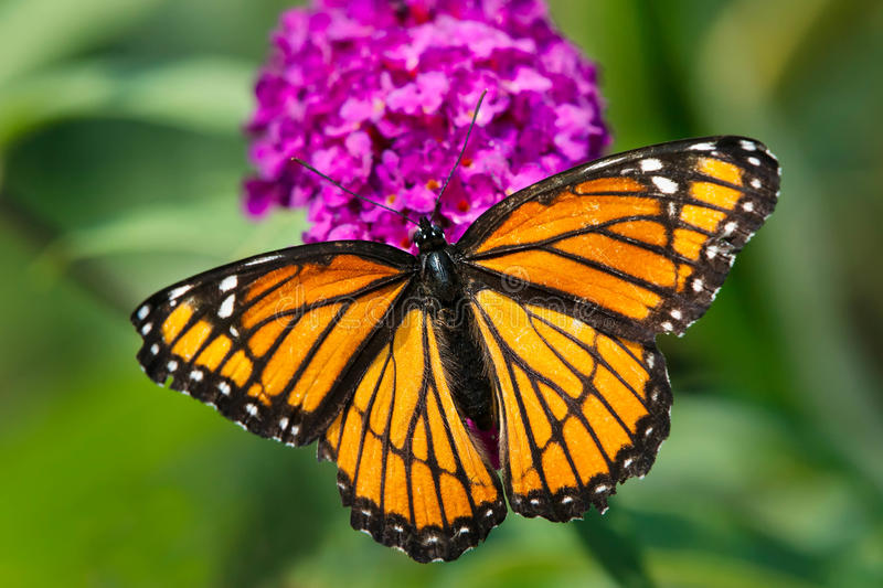 Viceroy Butterfly - Limenitis archippus. Viceroy Butterfly collecting nectar from a purple Butterfly Bush flower. Rosetta McClain Gardens, Toronto, Ontario stock photos