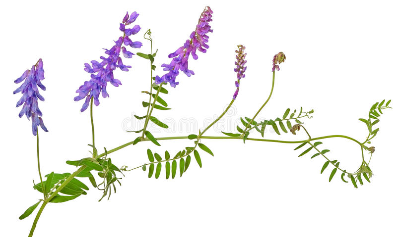 Vicia cracca flower royalty free stock images