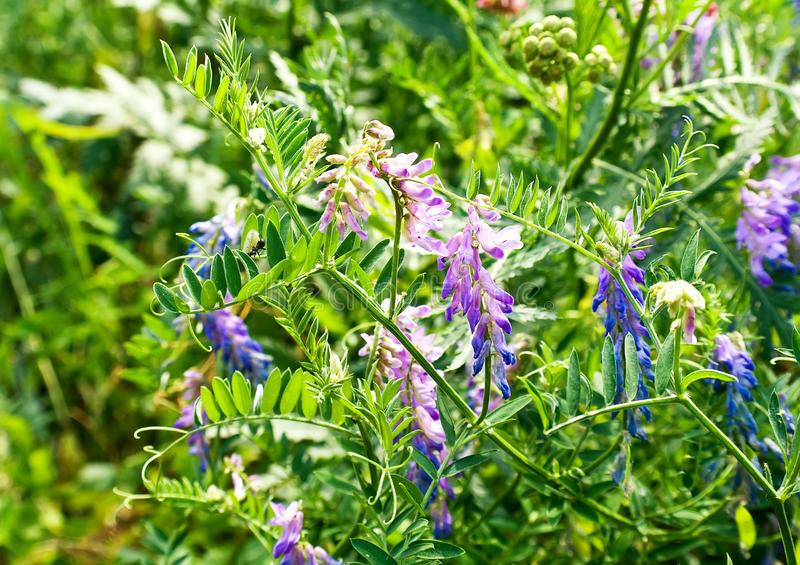 Vicia cracca royalty free stock photography