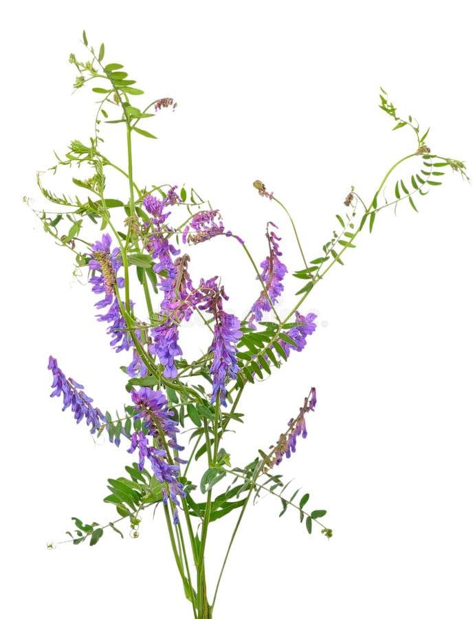 Vicia cracca kwiaty zdjęcie royalty free