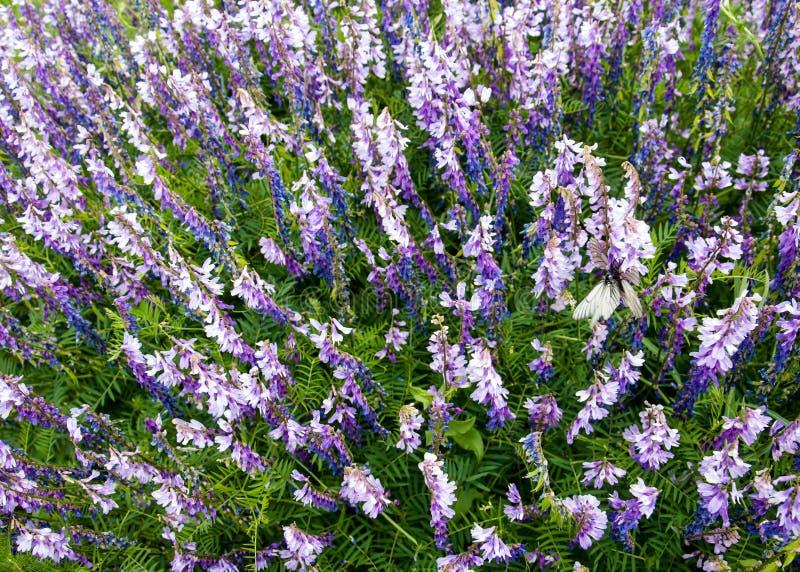 Vicia cracca porpora della veccia del fiore di vicia cracca sul prato Veccia trapuntata - vicia cracca Il vicia cracca, inoltre i fotografia stock