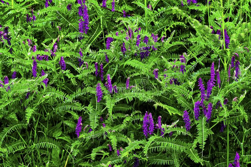 Vicia cracca Vogel-Wicke, Kuhwicke, Vogelwicke, blaue Wicke, nördliche Wicke lizenzfreies stockfoto