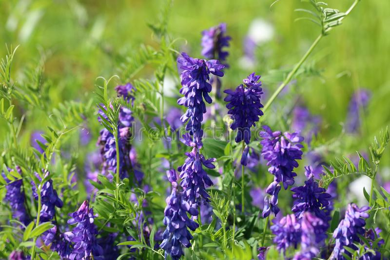 Vicia cracca. Wild vetch flowers close-up in summer on Yamal royalty free stock photos