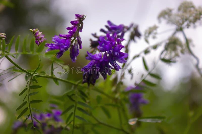Vicia craccabloemen op de zomergebied Tufted Wikke die met violette en blauwe bloemen in een weide bloeien stock foto