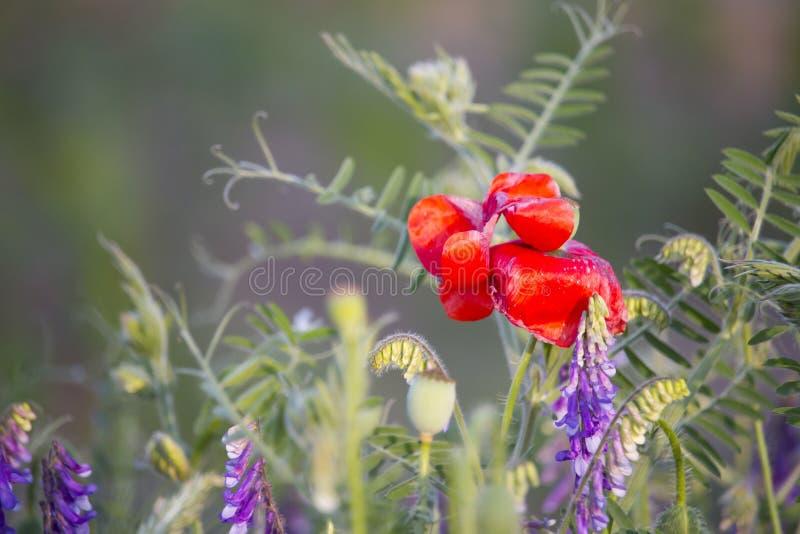 Vicia de pavot et de vesce sativa photo stock