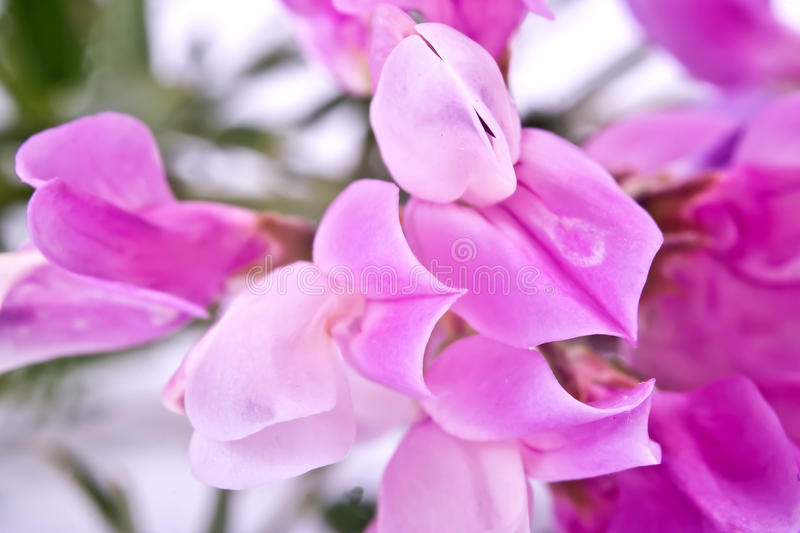 Vicia or vetch stock images