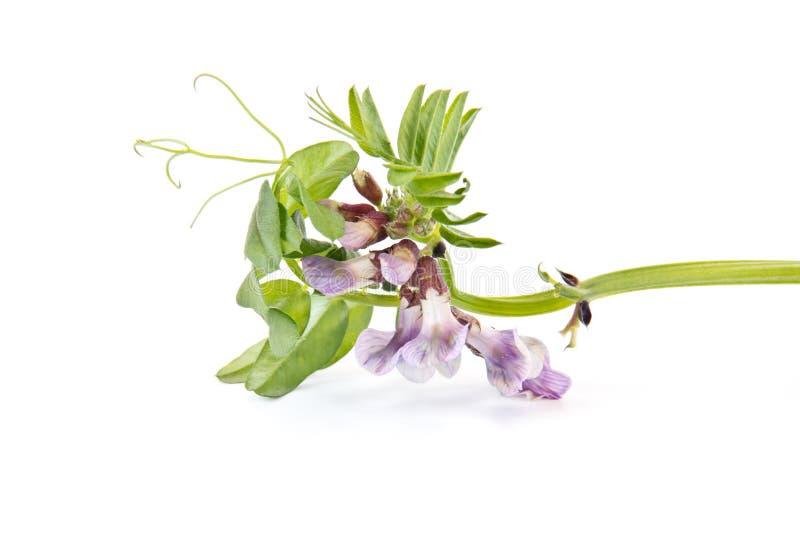 Vicia or vetches stock photo