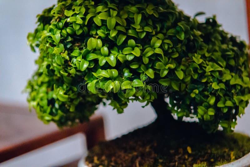 Vicino su dell'albero dei bonsai su esposizione a Frederik Meijer Gardens a Grand Rapids Michigan fotografia stock libera da diritti