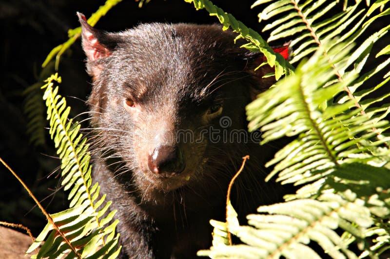 Vicious looking Tasmanian Devil royalty free stock photos