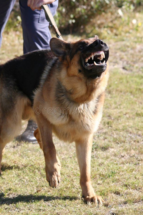 Vicious Police Dog. A vicious police dog baring it's teeth and barking stock image