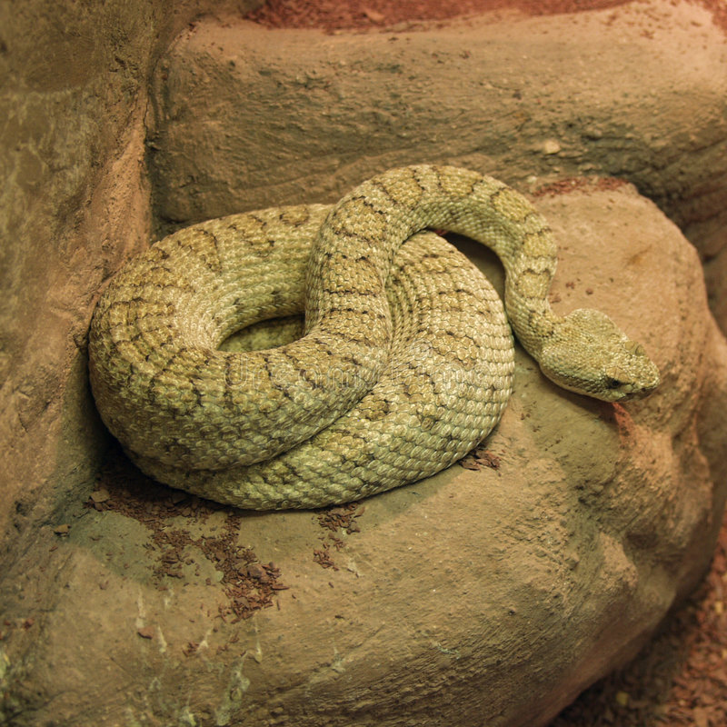 Download Vicious Viper stock photo. Image of coiled, deadly, desert - 21756