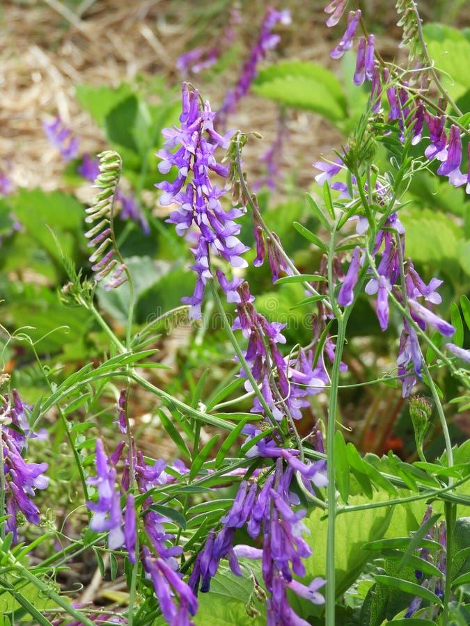 Vickerogräset har purpurfärgade och vita blommor arkivbilder