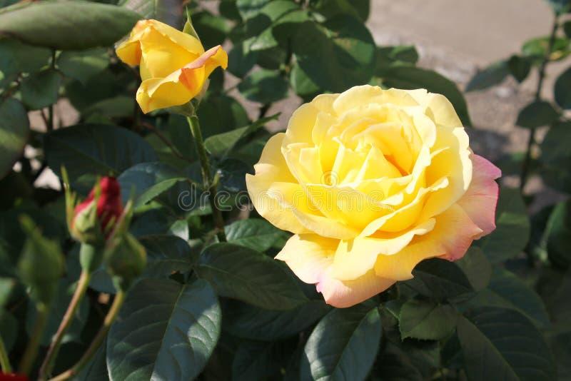 Vicoli di belle rose immagini stock