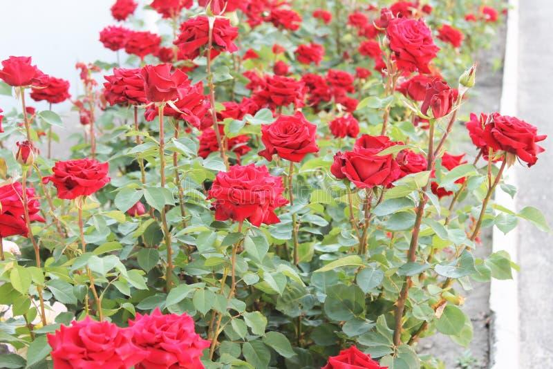 Vicoli di belle rose immagine stock libera da diritti