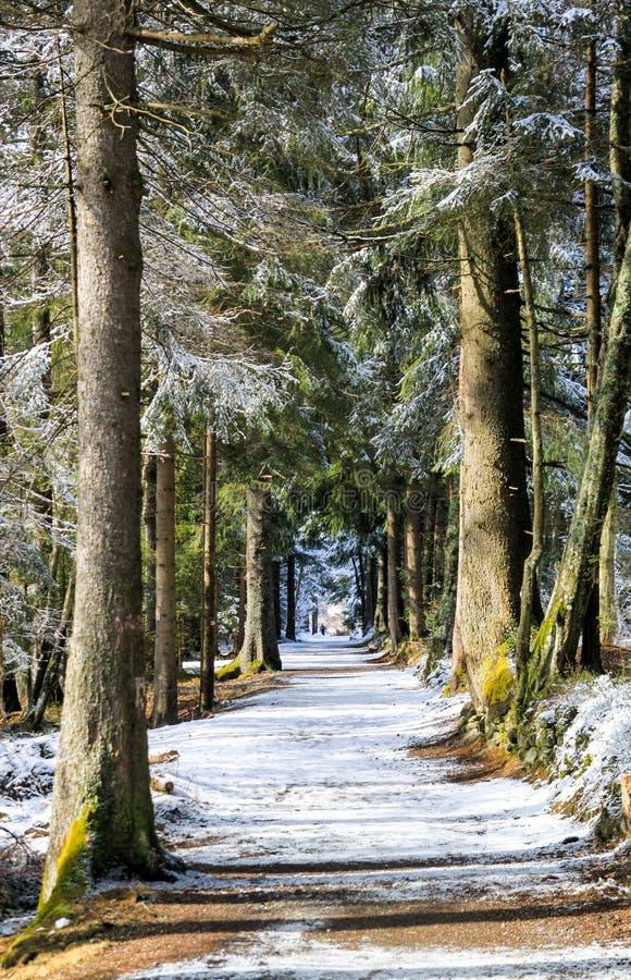 Vicolo di Snowy con i pini all'inverno immagini stock libere da diritti