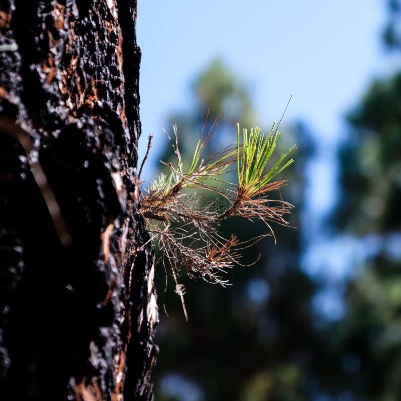 Victoires de la vie d'arbre de conifère après l'incendie de forêt image stock