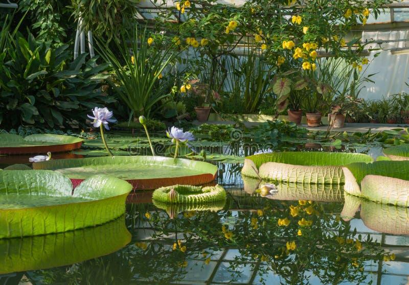 Download Victoria Amazonian Water Lily, Lotus De Flottement énorme Image stock - Image du centrale, flotteur: 77156403