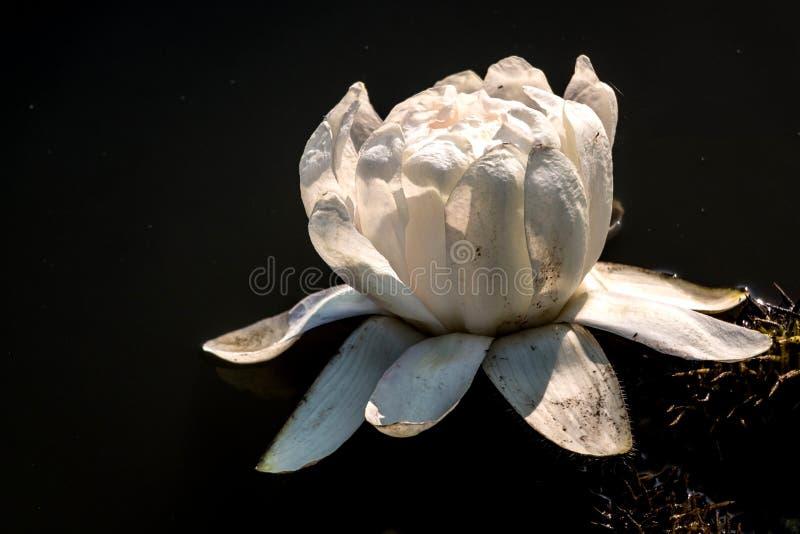 Victoria Amazonica Flower i svart bakgrund royaltyfria bilder