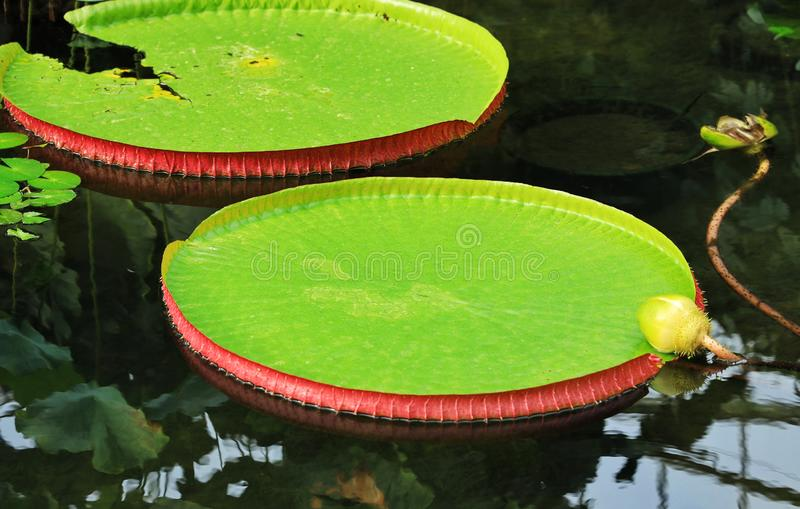 Victoria amazonica in the pond. Victoria amazonica is a species of flowering plant, the largest of the Nymphaeaceae family of water lilies. It is the National royalty free stock photos