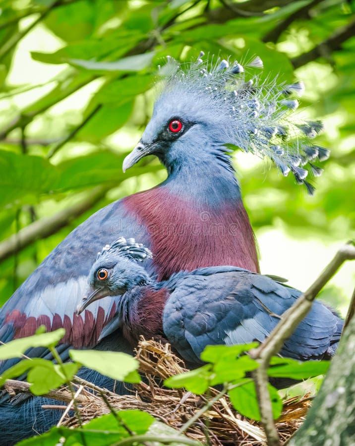 Victoria bekroond duif en babyvogel in het nest stock foto's
