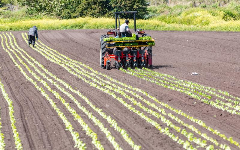 Victoria, British Columbia/ Canada - 06/18/2019: Workers plant rows of crops in a farmers field with the use of a   crop tractor . royalty free stock image