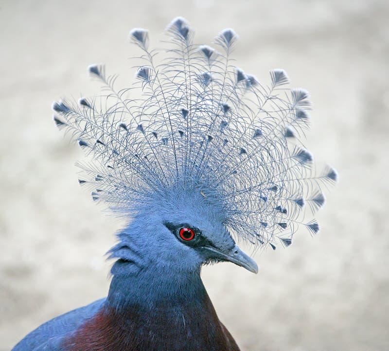 Victoria coronó la paloma 1 foto de archivo libre de regalías