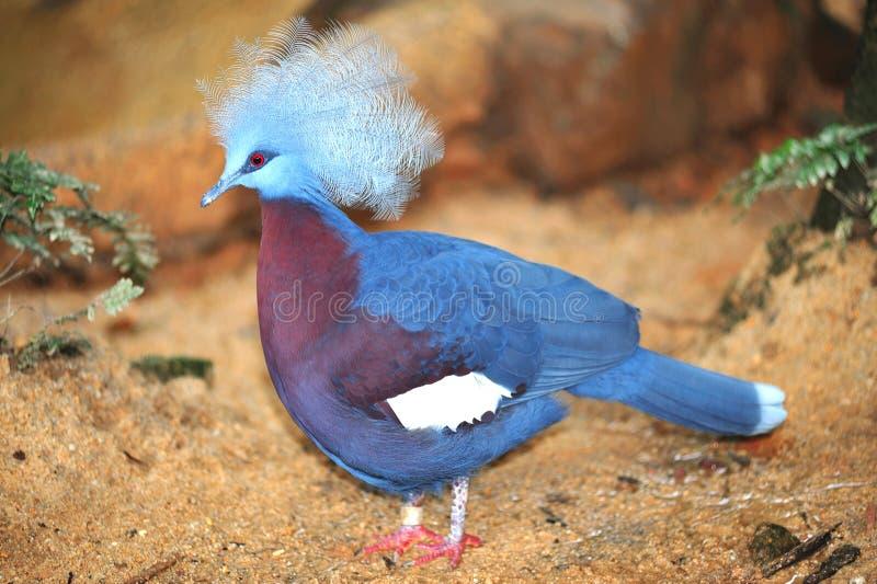 Victoria coronó la paloma foto de archivo