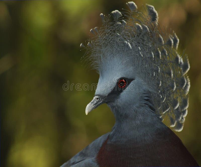 Victoria coronó la paloma fotografía de archivo