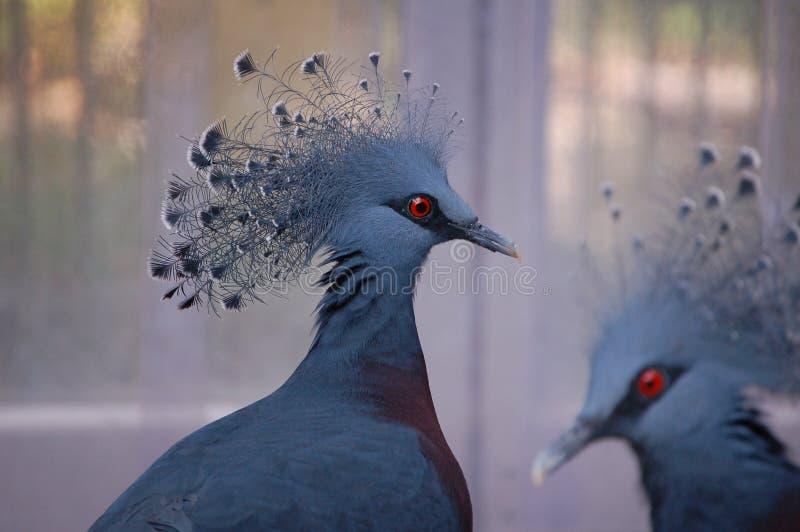 Victoria coroou o pombo imagens de stock royalty free