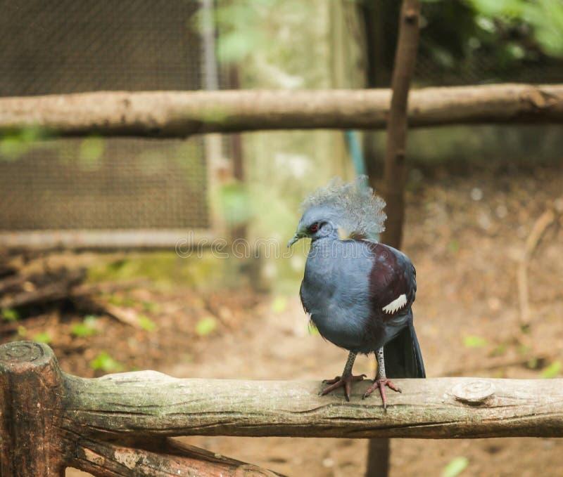 Victoria Crowned Pigeon è grande, piccione grigio bluastro con elegan fotografia stock libera da diritti