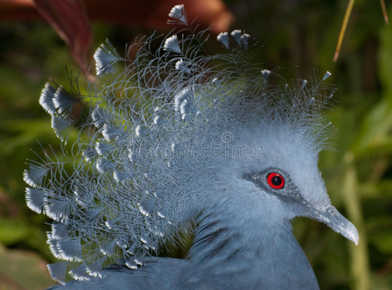 Download Victoria crowned pigeon stock photo. Image of pigeon - 11113288