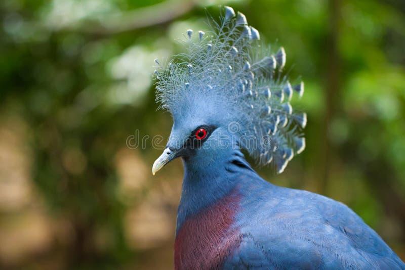 Victoria Crowned Pigeon imagenes de archivo