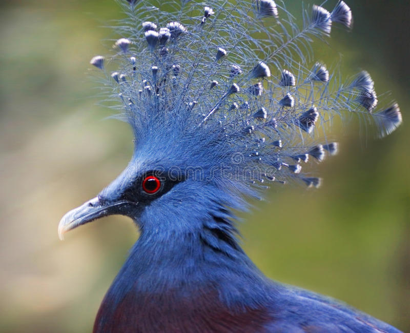 Victoria Crowned Pigeon. (Goura Victoria) on the blurred background stock images