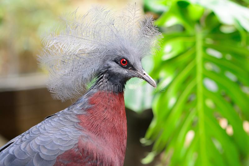 Victoria crowned pigeon stock photos