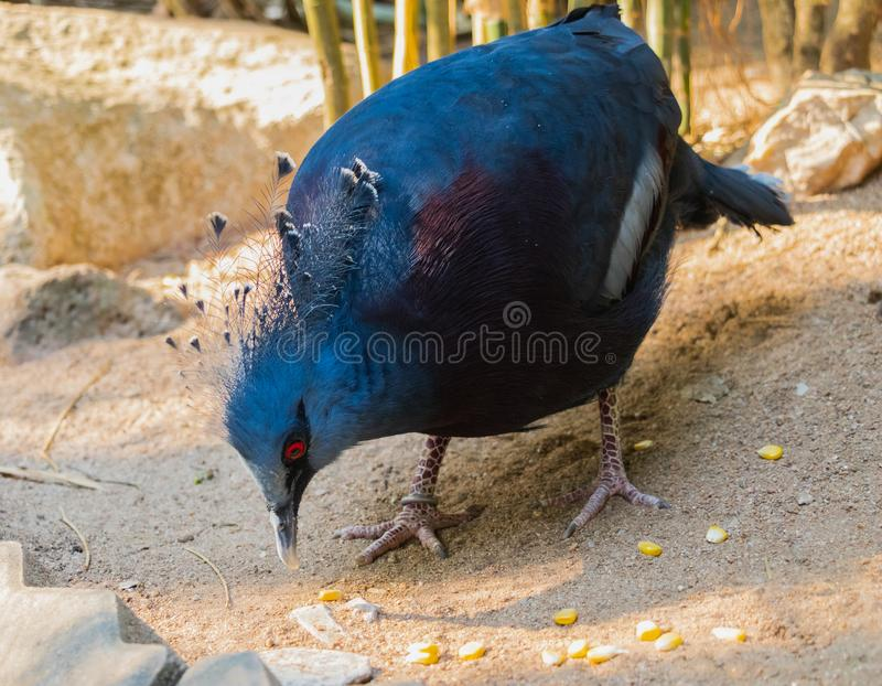 The Victoria crowned pigeon Goura victoria is looking at some stock photography