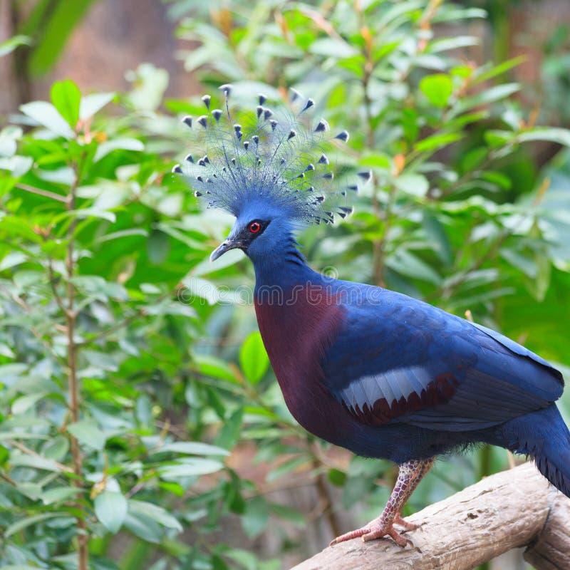 Victoria Crowned Pigeon i en parkera arkivfoton