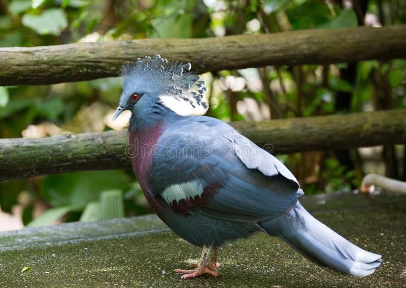 Victoria crowned pigeon. Stand on the ground stock photos