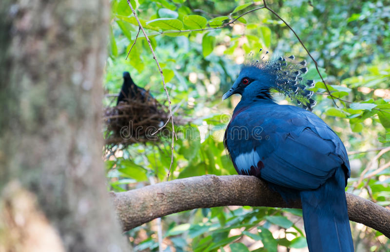 Victoria crowned pigeon. On tree, Beautiful of bird stock photo