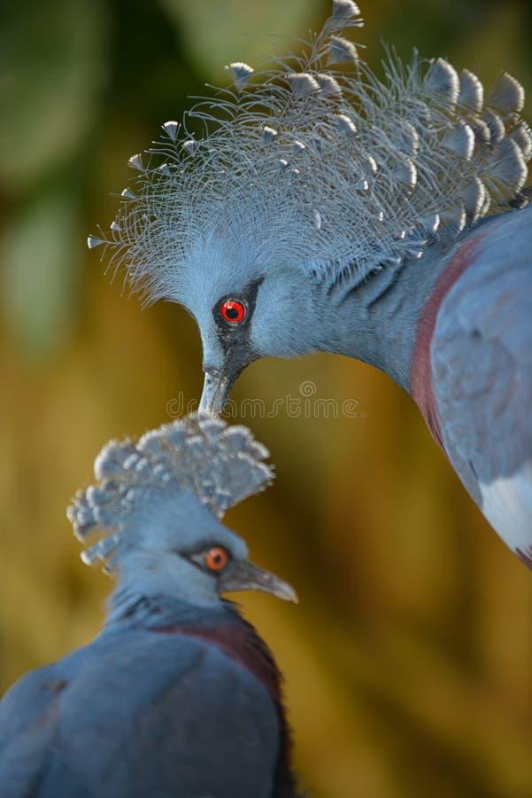Victoria ha incoronato il piccione, Goura Victoria fotografia stock libera da diritti
