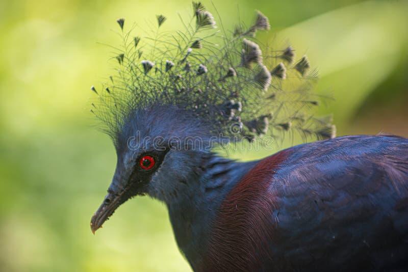 Victoria ha incoronato il piccione, Goura Victoria fotografie stock libere da diritti