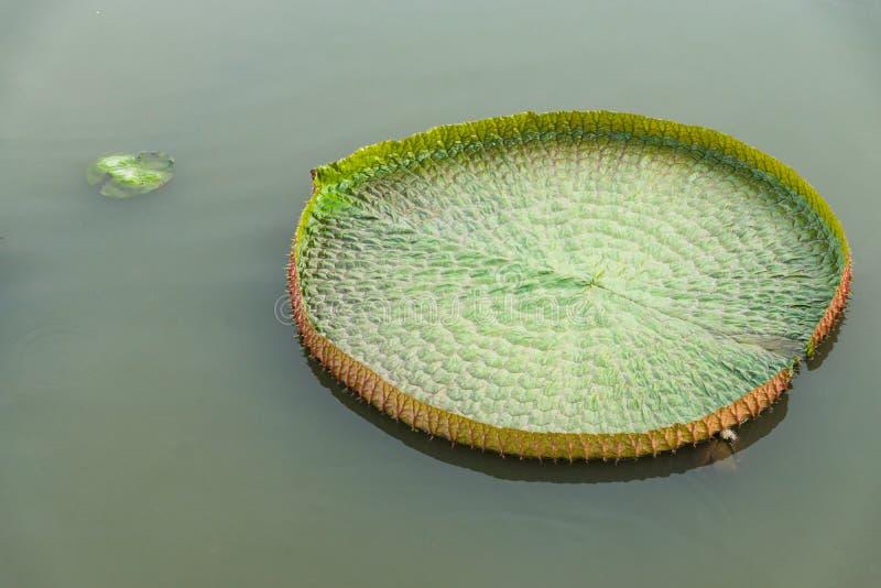 Victoria lotus leaf stock photography