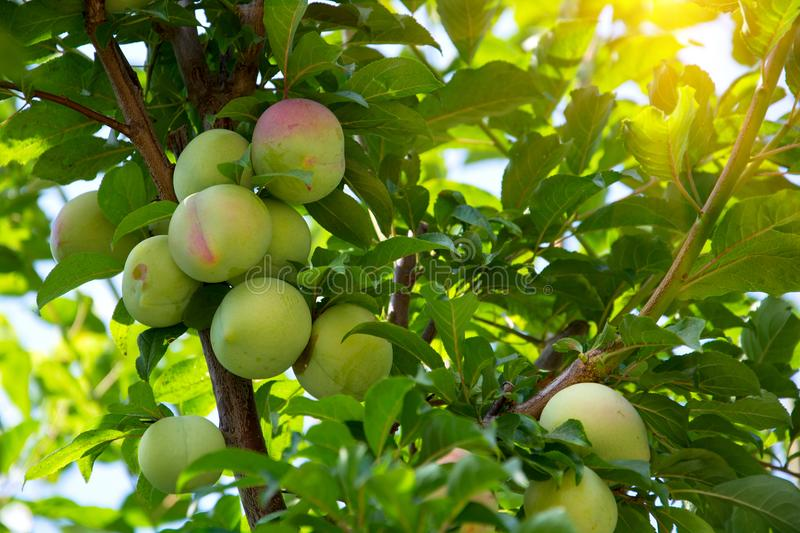 Victoria plums on the branch of tree royalty free stock photos