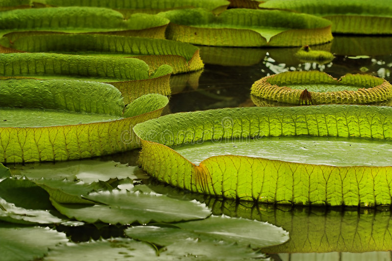 Victoria Regia royalty free stock images