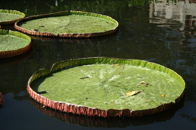 Victoria Regia - el lirio de agua más grande del wor fotografía de archivo