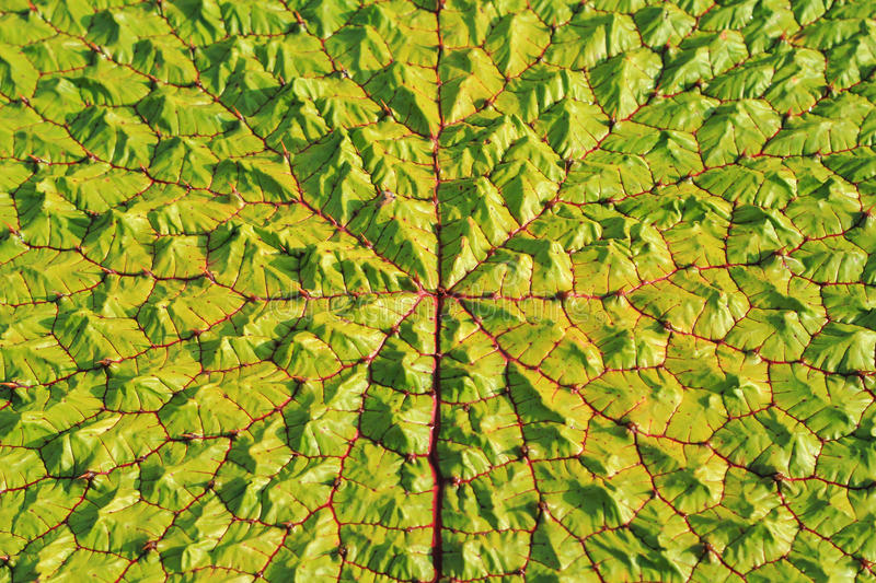 Download Victoria Regia Leaf Stock Image - Image: 20812801