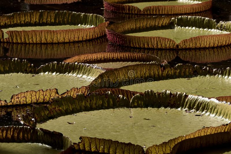 Victoria-stootkussens van de regia de reuzewaterlelie stock foto's