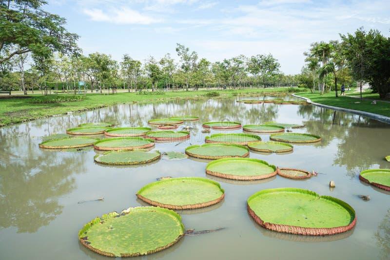 Victoria verte waterlily dans l'étang au parc avec la lumière du jour images stock
