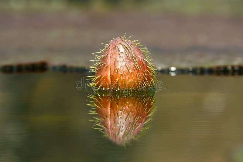 Victoria Water Lily-knop stock afbeeldingen