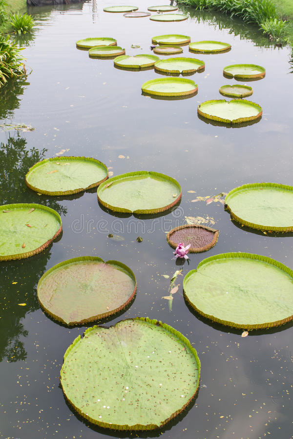 Victoria Waterlily photo stock